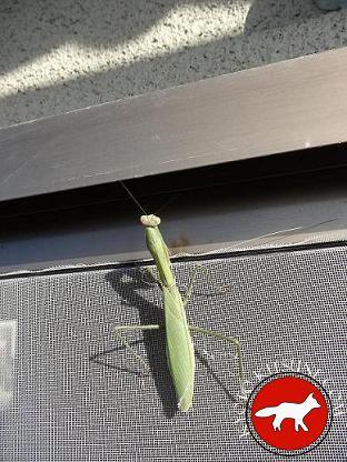 Mante religieuse verte au Japon à Kyoto