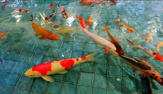 Jenis masakan dan cara santunan pakan ikan koi  Kabar Terbaru- JENIS MAKANAN DAN CARA PEMBERIAN PAKAN PADA IKAN KOI