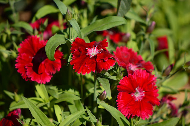 garden bloggers bloom day, gbbd, desert garden, february, small sunny garden, amy myers, dianthus