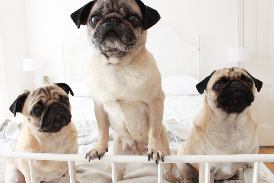 UK Beauty Blogger, Liverpool Blogger, Pug Blogger, Pug Blog, Fawn Pugs,