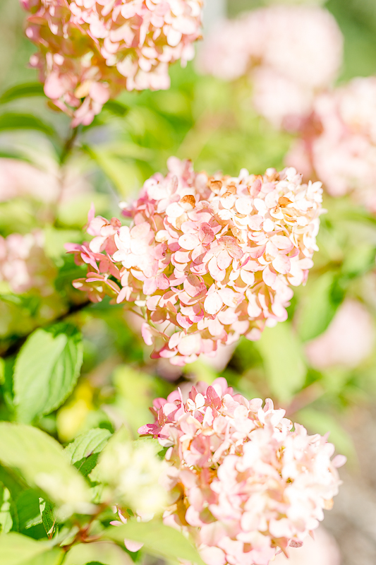 Mein Garten im September, Pomponetti, Hortensien im Herbst