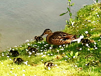 Duck with ducklings on a riverbank