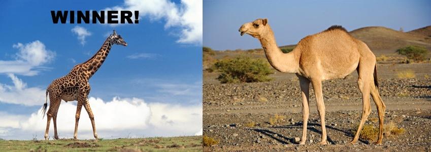 Image result for giraffe vs camel water
