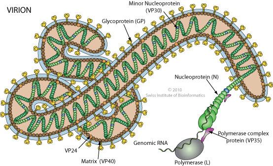 virusul Marburg - Traducere în engleză - exemple în română | Reverso Context
