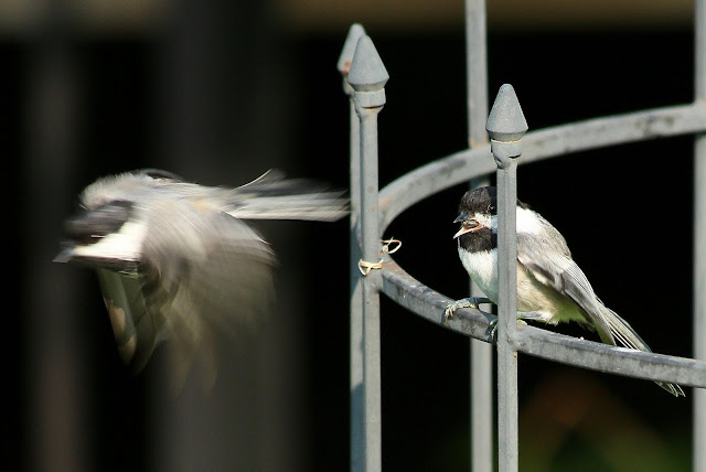 Chickadees in the spring