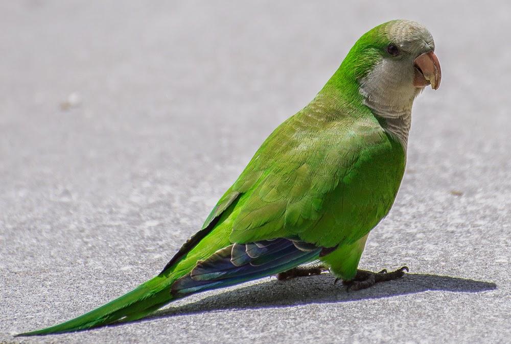寵物鳥樂園: 寵物鳥品種種類介紹《和尚鸚鵡》