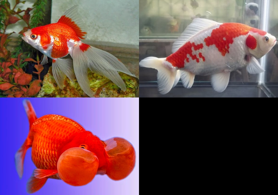 4 Jenis Ikan Mas Koki Termahal Di Dunia Superperikanan