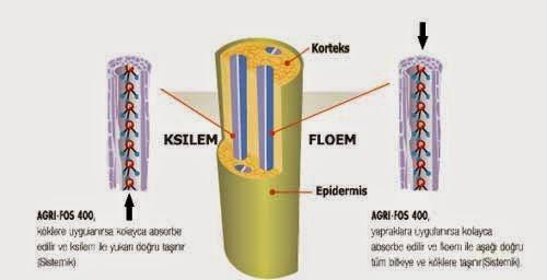Ksilem ve floem arasındaki farklar