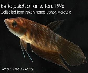 Jenis Ikan Cupang Spesies Betta Pulchra