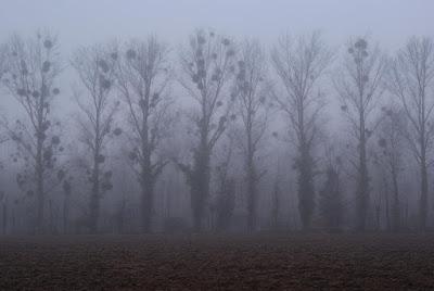 Bäume mit merkwürdig aussehenden Kugeln in den Ästen stehen halb im Nebel verschwunden