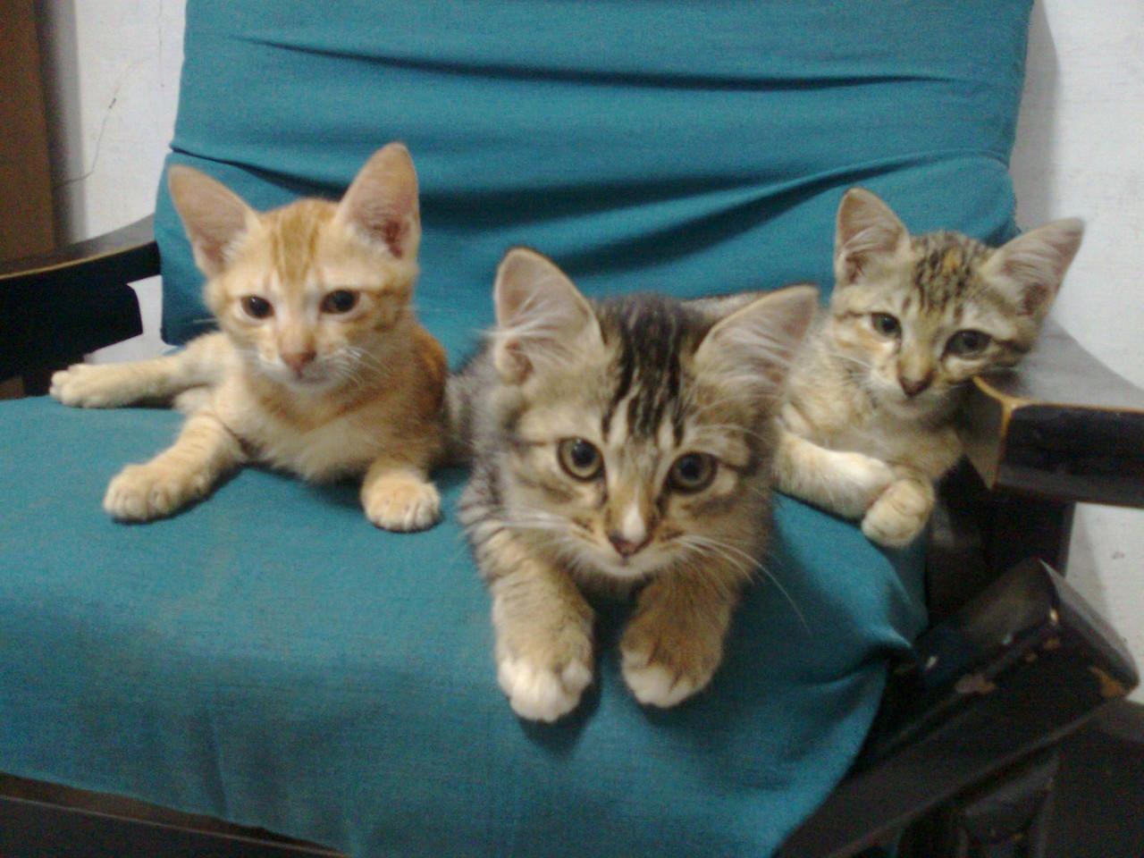 Pilih Kucing Kampung Atau Kucing Ras
