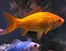 Inilah Jenis Ikan Koki Beserta Gambar Ikan Koki common