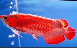 Ikan Hias Air Tawar Termahal arwana merah