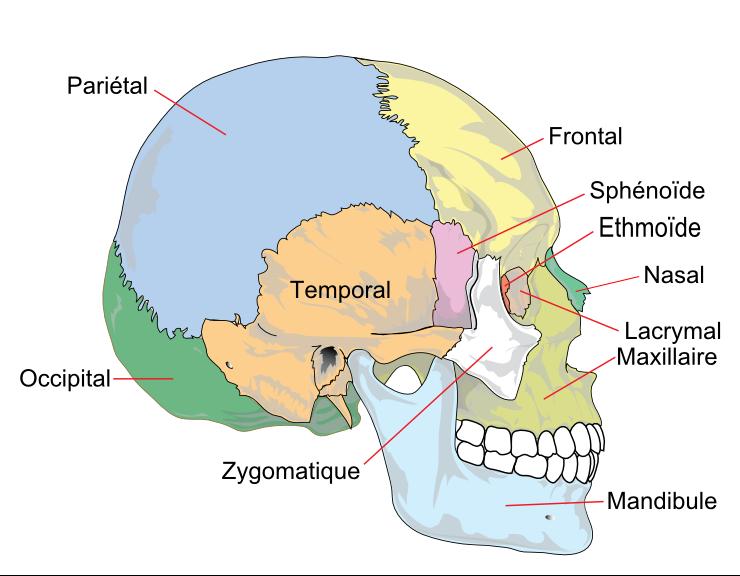 anatomie des os du crâne ostéologie infirmier