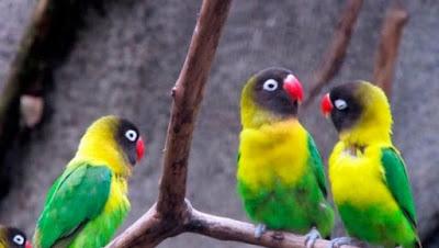 Kisaran Daftar Harga Terbaru Burung Lovebird Saat Ini 2018 Terlengkap