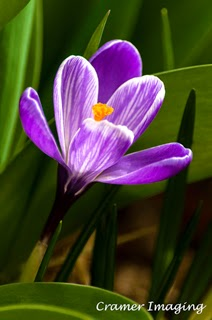 Cramer Imaging's professional quality fine art nature photograph of a purple crocus flower with green background in Pocatello, Bannock, Idaho