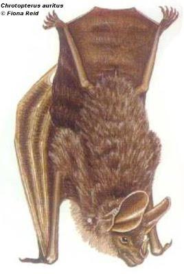 Falso vampiro orejón Chrotopterus auritus