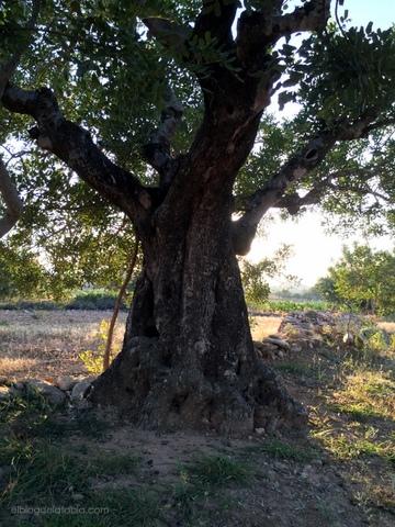 Algarrobo, Ceratonia siliqua