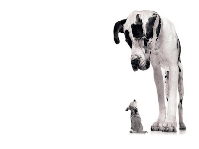 great dane standing over and looking down at a chihuahua who is looking up