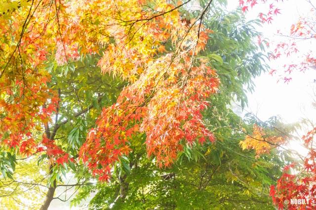 もみじ回廊の紅葉~河口湖