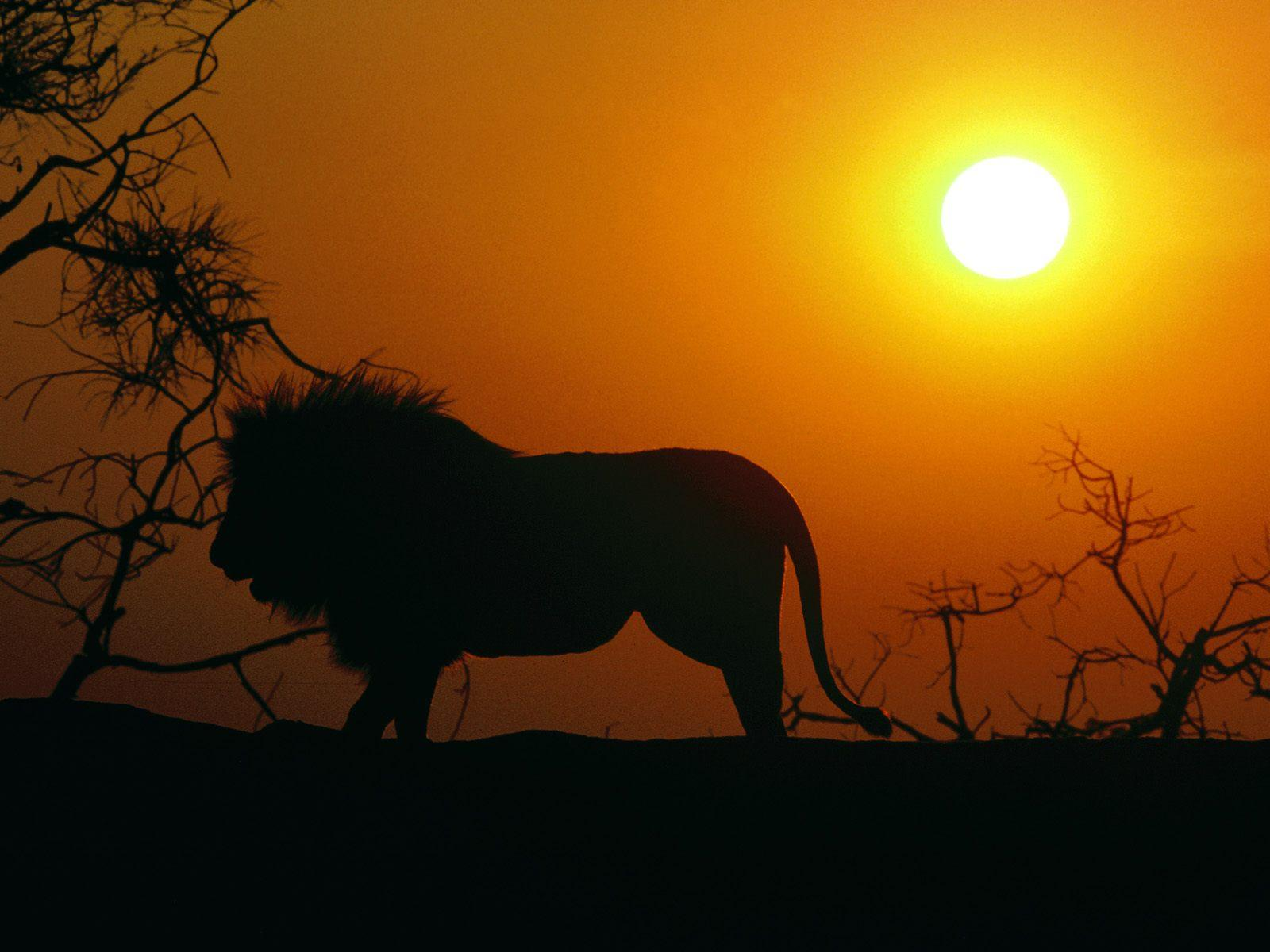 Collection Of Best Animal Wallpapers: Best Resolution Wallpaper: Lion Best HD Wallpaper