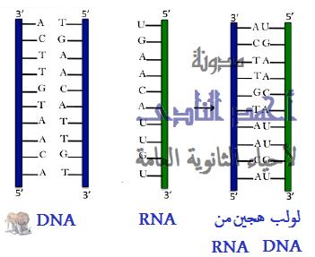 تهجين الحمض النووى - الهندسة الوراثية - نقل جينات - تقنيات التكنولوجيا الجزيئية ( الهندسة الوراثية ) - تقنية تهجين الحمض النووى - الثالث الثانوى - أحياء الثانوية العامة