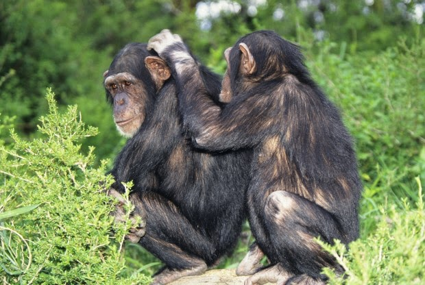 vida-sociedade-chimpanzés