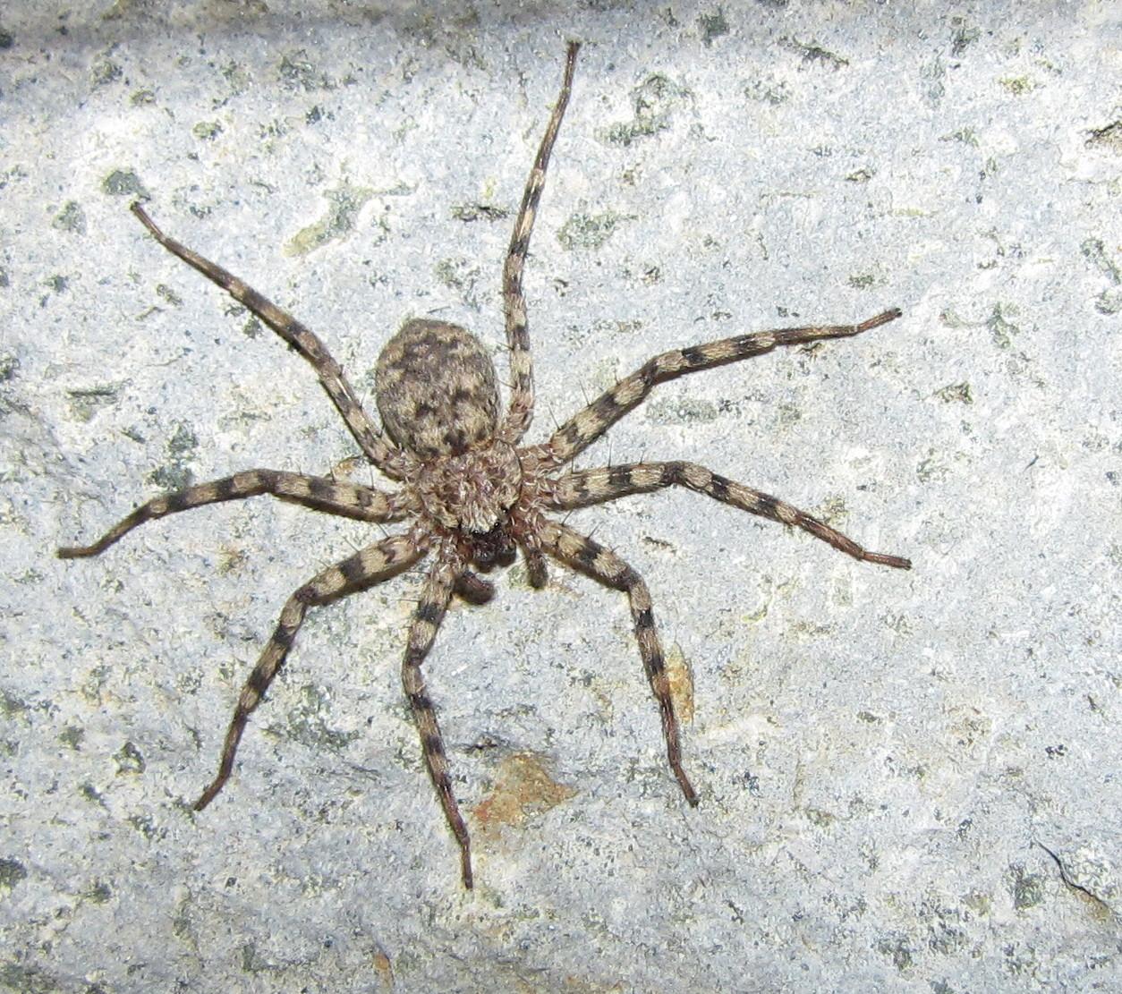 Bug Eric: Spider Sunday: Flatties