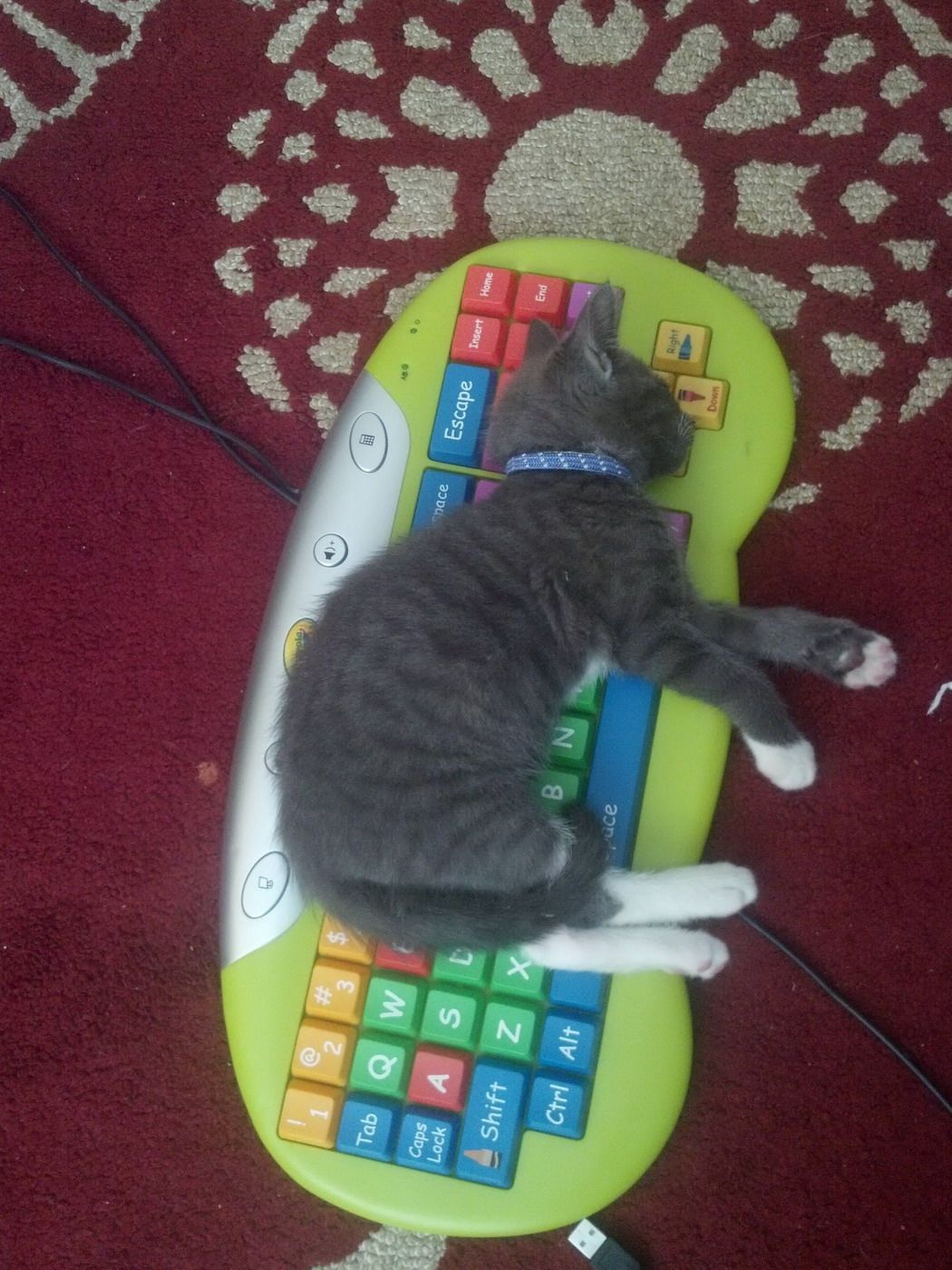 funny cats, cute cat pictures, kitten sleeps on keyboard