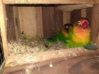 Panduan Ternak burung Lovebird (Burung Cinta) bagi pemula