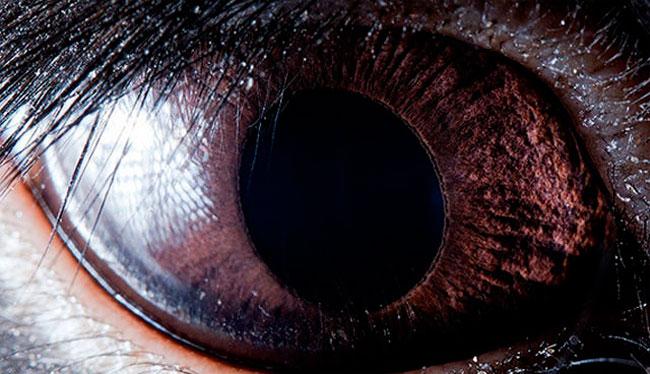 Olho de Coelho negro