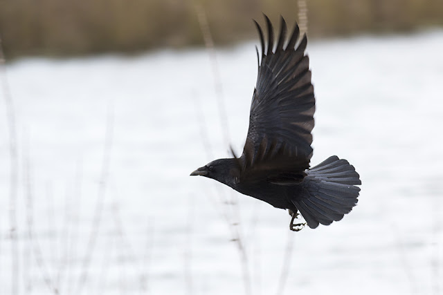 Carrion Crow in flight