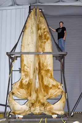 crânio da Baleia azul