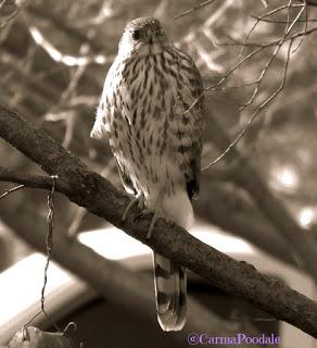 Hawk looking at camera