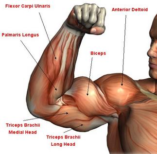 Pengertian Otoot, Karakteristik, dan Fungsi Otot