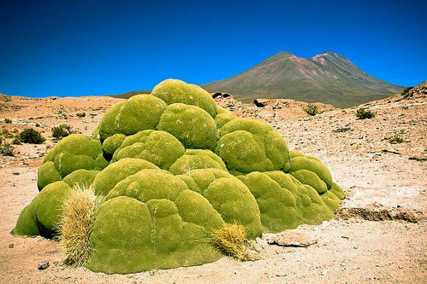 世界にある驚くべき植物、ヤレータ