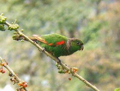 Choco Parakeet