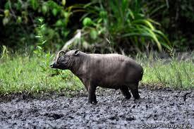 Klasifikasi Babi Rusa (Babyrousa babyrussa)