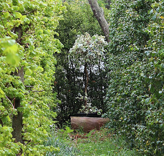 Hedera canariensis 'Gloire de Marengo' garden