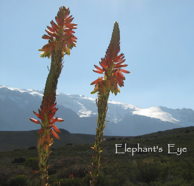 Aloes with snow in July 2008