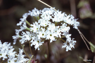 Abronia fragrans, prairie snowball