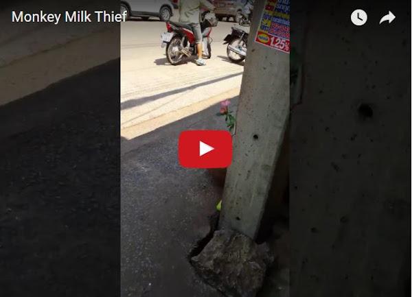 Este mono entra a la tienda, se roba la leche y se va muy tranquilo