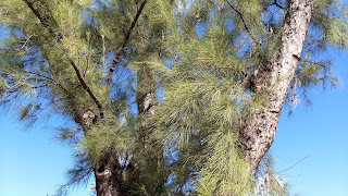 Casuarina equisetifolia (Ironwood) invasive tree needles