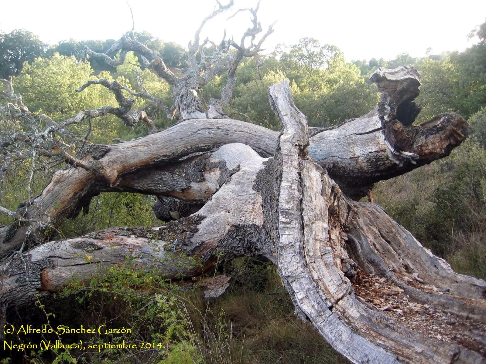 tronco-arbol-monumental-carrasca-negron