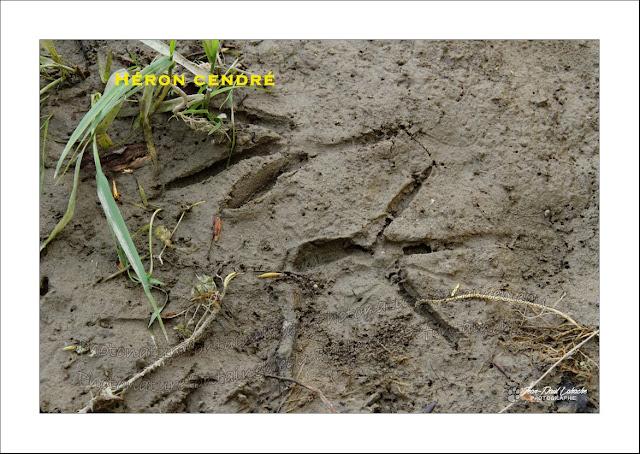 traces-bords-de-loire-héron-ragondin-castor