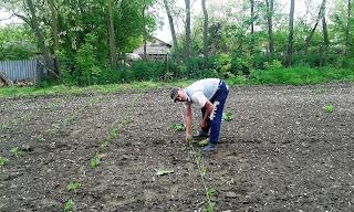 plantarea tomatelor la sfoara