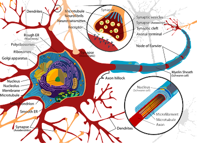 neurotransmeter, asitile coloin,adrenalin,neuron, synapes,nerve cell