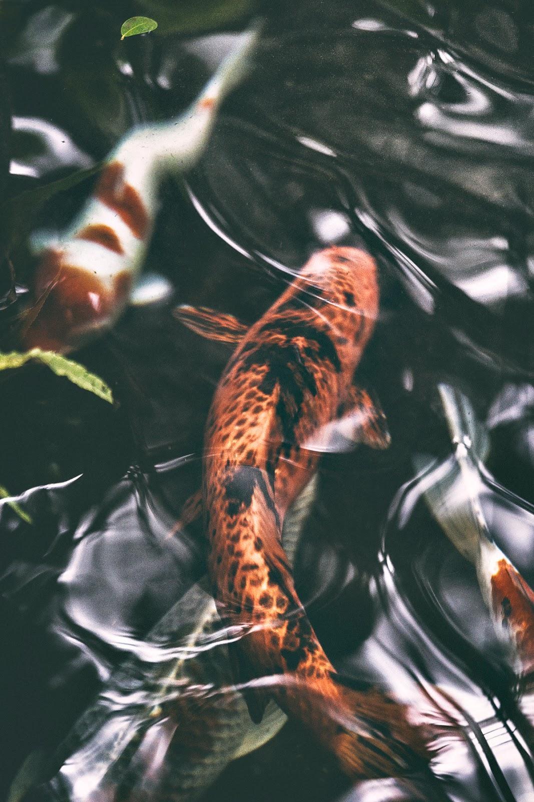 Talvipuutarha, Helsinki, myhelsinki, visithelsinki, garden, orangerie, puutarha, kasvit, kukat, viherkasvit, valokuvaaja, Frida Steiner, Visualaddict, visualaddictfrida, kultakalat, kalat, fish