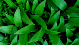 Irish Food Guide_Wild Garlic with No Flowers