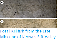 http://sciencythoughts.blogspot.co.uk/2015/05/fossil-killifish-from-late-miocene-of.html